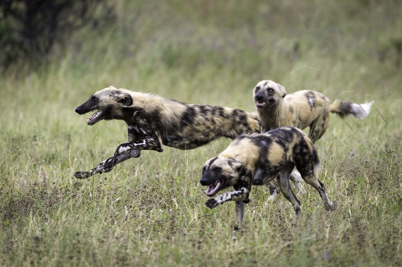 African Wild Dog - A Top Favourite..... - Remarkable Africa