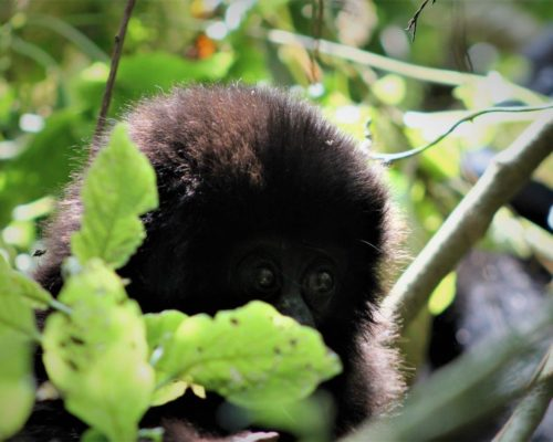 shy_baby_gorilla_remarkable_africa